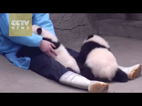 飼育員さんにマッサージをしてもらいご満悦な子パンダ!