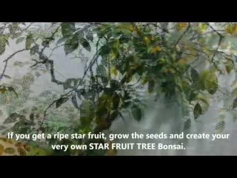 Star Fruit (Carambola) Bonsai
