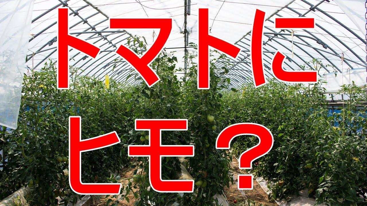 トマトの画像 p1_39