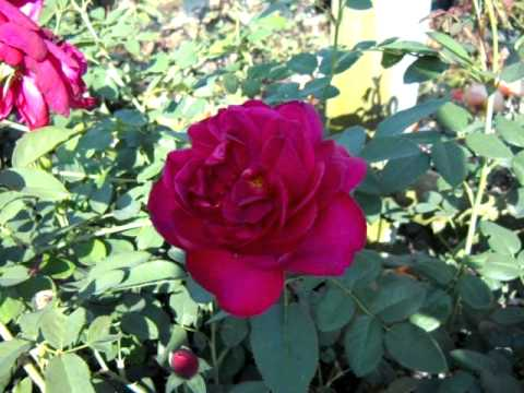 Darcey Bussell English Rose