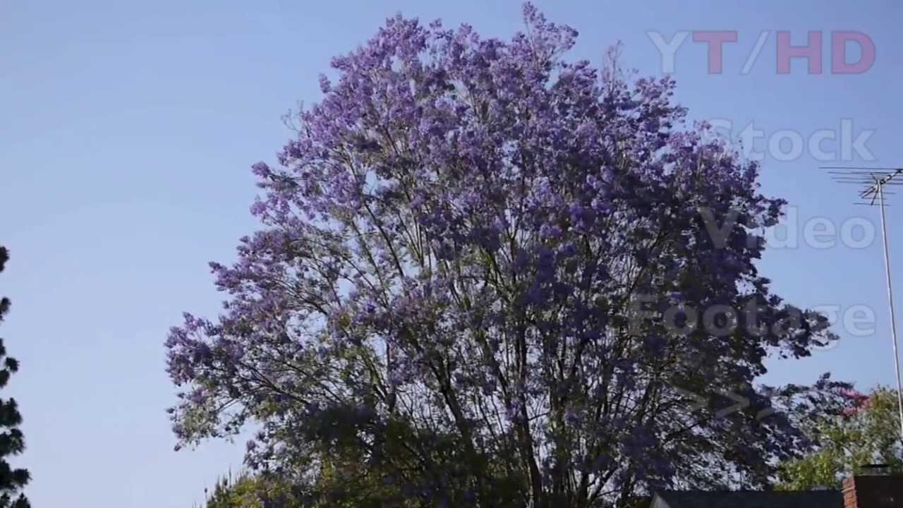 Large Jacaranda Tree In Full Bloom W Blossoming Purple