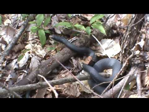 Snakes At Mammoth Cave National Park Video