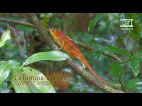 Header of Calumma amber