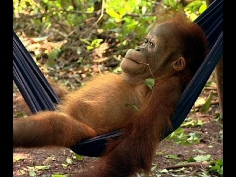 Noddy's First Day at School | Orangutan Diary | BBC Earth