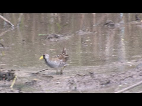 Sora Rails and Virginia Rails: Marshland Skulkers--NARRATED