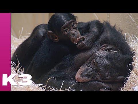 K3 - De wereld van K3 - Dieren - Bonobo