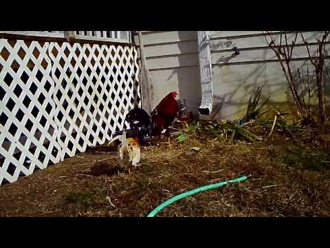 Red Pyle Bantam Rooster and Mixed Fighting Rooster