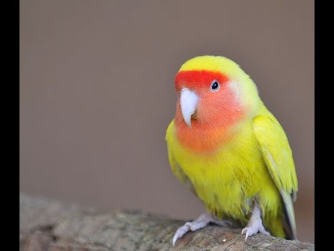 Kicauan Burung Love Bird High Quality Sound Hd video