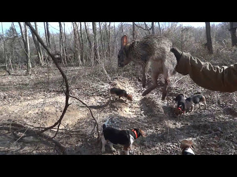 Swamp Rabbit Hunting in West Tennessee 2013