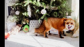 Juniperfoxx| What Do You Give A Fox For Christmas?!