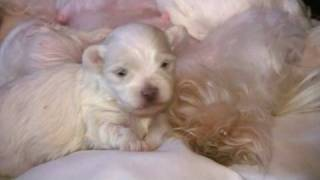 Maltese Puppies - 2 Weeks Old! (in HD)
