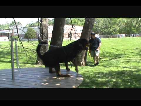 Kingston - 39 months (Schutzhund Obedience & Protection Training)