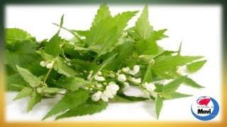 Propiedades curativas de la ortiga verde - Para que sirve la ortiga como planta medicinal