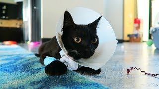 Kitten Gets Spayed 🤒