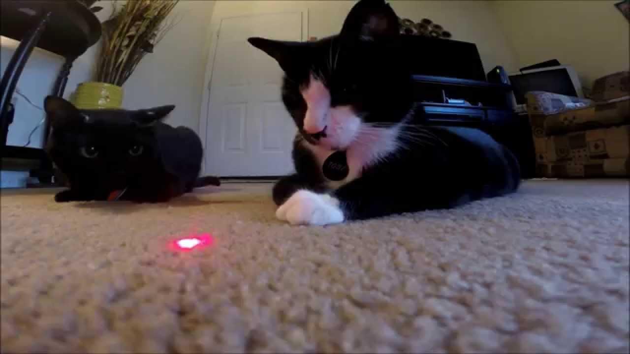 Cat vs laser pointer