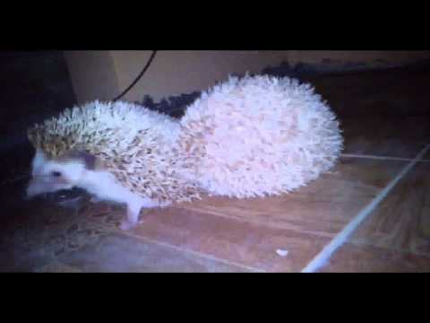 Sex Ala My Lovely Hedgehog video
