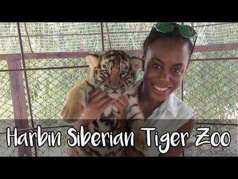 Siberian Tiger Zoo Harbin, China