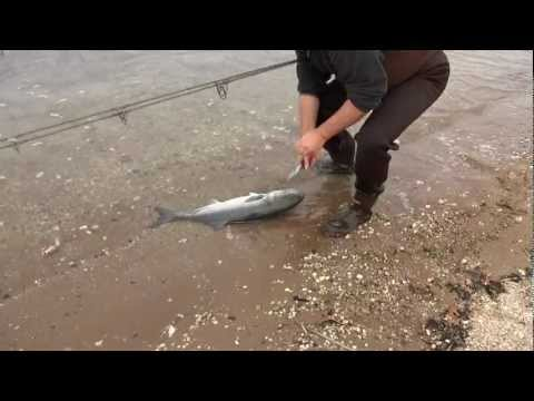 Surf Fishing with Slap Jackson Oct. 27, 2012 Big Bluefish