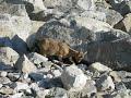 Горный козел в Безенги