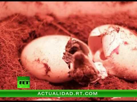 El emocionante momento del nacimiento de unos cocodrilos