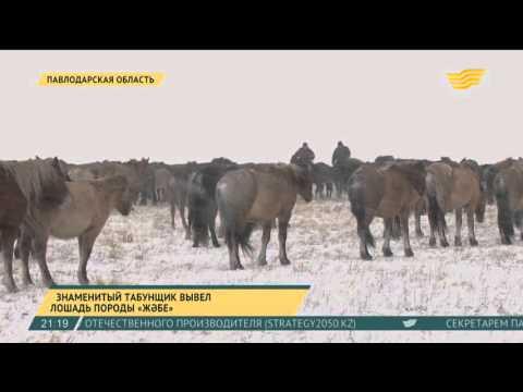 Знаменитый табунщик вывел лошадь породы «жәбе» в Павлодарской области