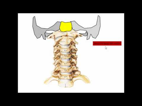 musculos prevertebrales.wmv