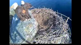 West End Bald Eagle nest cam 13th Feb 2014 8.28 AM Mating on the rock