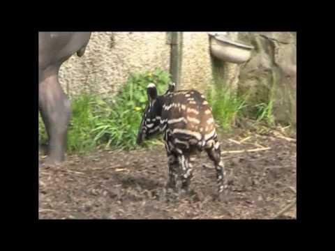 Baby Malayan Tapir Kamal