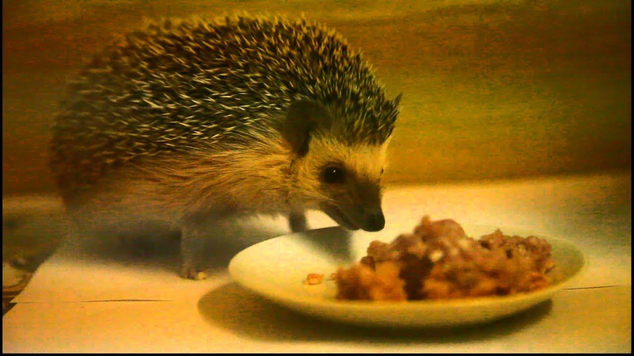 Содержание ежей в домашних условиях: питание и уход. Домик 28