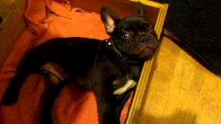 Cachorro discute com dona na hora de dormir