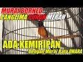Gaya Murai Borneo Juara 1 Panglima Punan Merah Ada Kemiripan Gaya Dengan Murai OHARA thumbnail