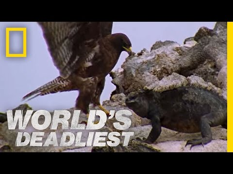 World's Deadliest - Hawk Attacks Iguana