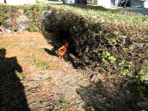 Key West 5 - Wild chickens near Ernest Hemingway's house
