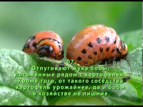 Как избавиться от колорадского жука. Народные средства