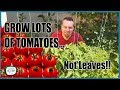 Grow Lots Of Tomatoes... Not Leaves  Complete Growing Guide