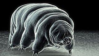 Meet The World's Toughest Animal... The INVINCIBLE Tardigrade!