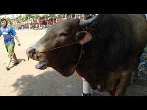 Suara lucu sapi dan kambing