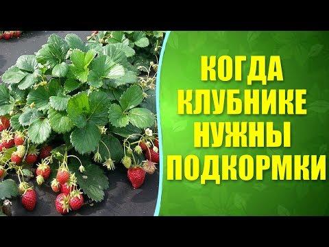 🍓 Когда и чем подкормить клубнику для хорошего урожая? Подкормка клубники при природном земледелии.