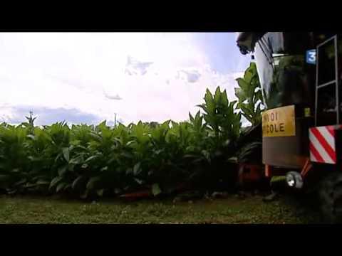 Récolte 2015 du tabac en Dordogne