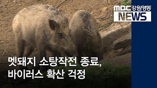 R)DMZ 멧돼지 소탕 1차 종료, 바이러스 확산 걱정