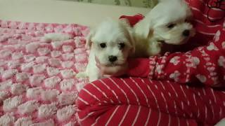 Maltese. Sale of puppies.
