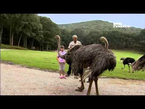 Zoológicos asombrosos - El avestruz