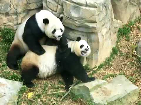 X rated Pandas at the DC Zoo