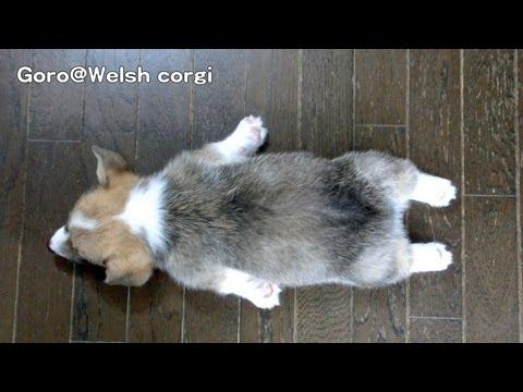 コーギー犬のお昼寝姿が可...