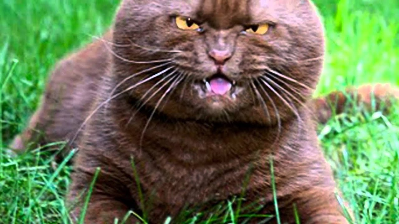 British Shorthair Cat For Sale Usa
