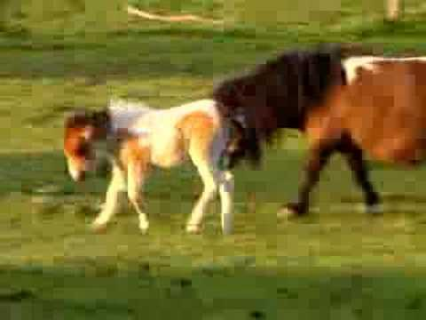 Miniature Horse Foals Playing - Good