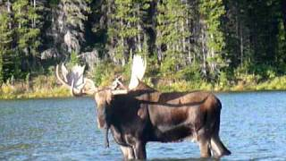 Huge bull moose grunting in lake - Glacier National Park (Sept.