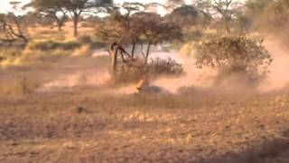 LION ATTACK AND KILL!  Safari footage