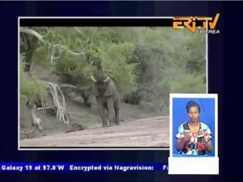 EriTV News - 8 Elephants killed this year by Eritrean Farmers