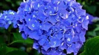 Como cultivar Hortensias Hydrangeas - TvAgro por Juan Gonzalo Angel